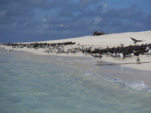 ミコマスケイの鳥の群れ