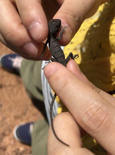 アガマ科の幼体