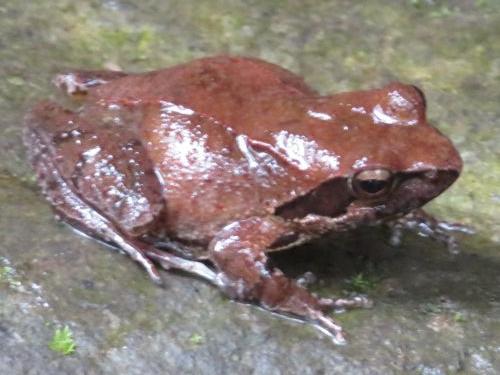 ニホンタゴガエル