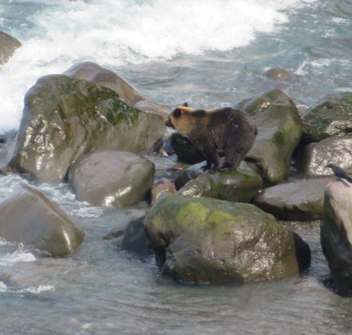 海にいたヒグマ