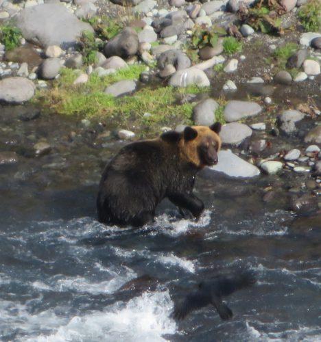 川に入ったヒグマ