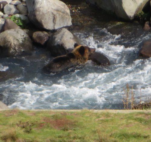 激流の中のヒグマ