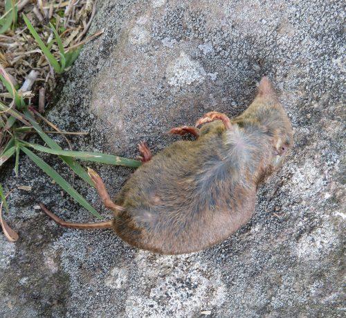 トガリネズミの死骸